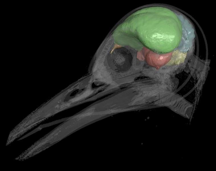 La investigación se basó en el tamaño craneal de diferentes especies