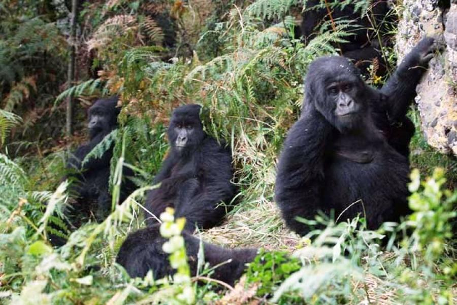 el gobierno de la RDC concedió a empresas petrolíferas licencias para la extracción de petróleo que cubrían el 85 por ciento de Virunga