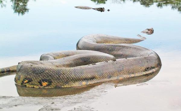 Las anacondas son originarias del Amazonas en Brasil, son muy grandes y peligrosas