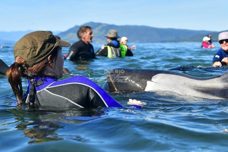 La Mayora De Las 240 Ballenas Que Permanecan Encalladas En Una Playa Nueva Zelanda Este Fin Semana Pudieron Regresar Al Agua Por Sus Propios Medios