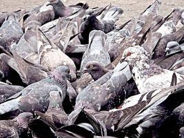 Palomas, patos y manigordos son afectados en Puntarenas y Guanacaste