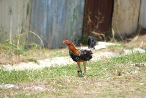 """Este es uno de los gallos de pelea que cuidaban a """"Tapón"""" en su vivienda en Bajo Tejares de San Ramón, Alajuela"""