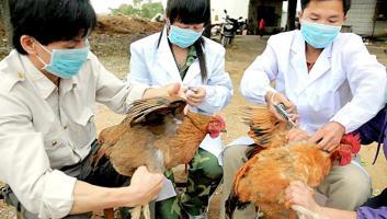 Sacrifican gallinas