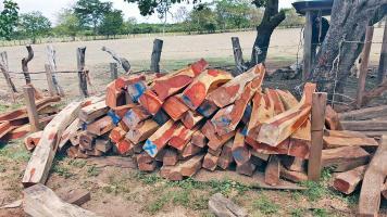 El OIJ de Santa Cruz decomisó 15 mil pulgadas de cocobolo en una finca en Belén de Carrillo en Guanacaste