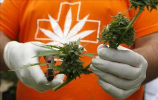 Incautan 75.000 plantas de cannabis en España, el mayor alijo del país Imagen de una planta de de marihuana. EFE/Archivo