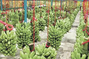 El plátano es uno de los productos que se verían más afectados si La Niña se va para el Atlántico
